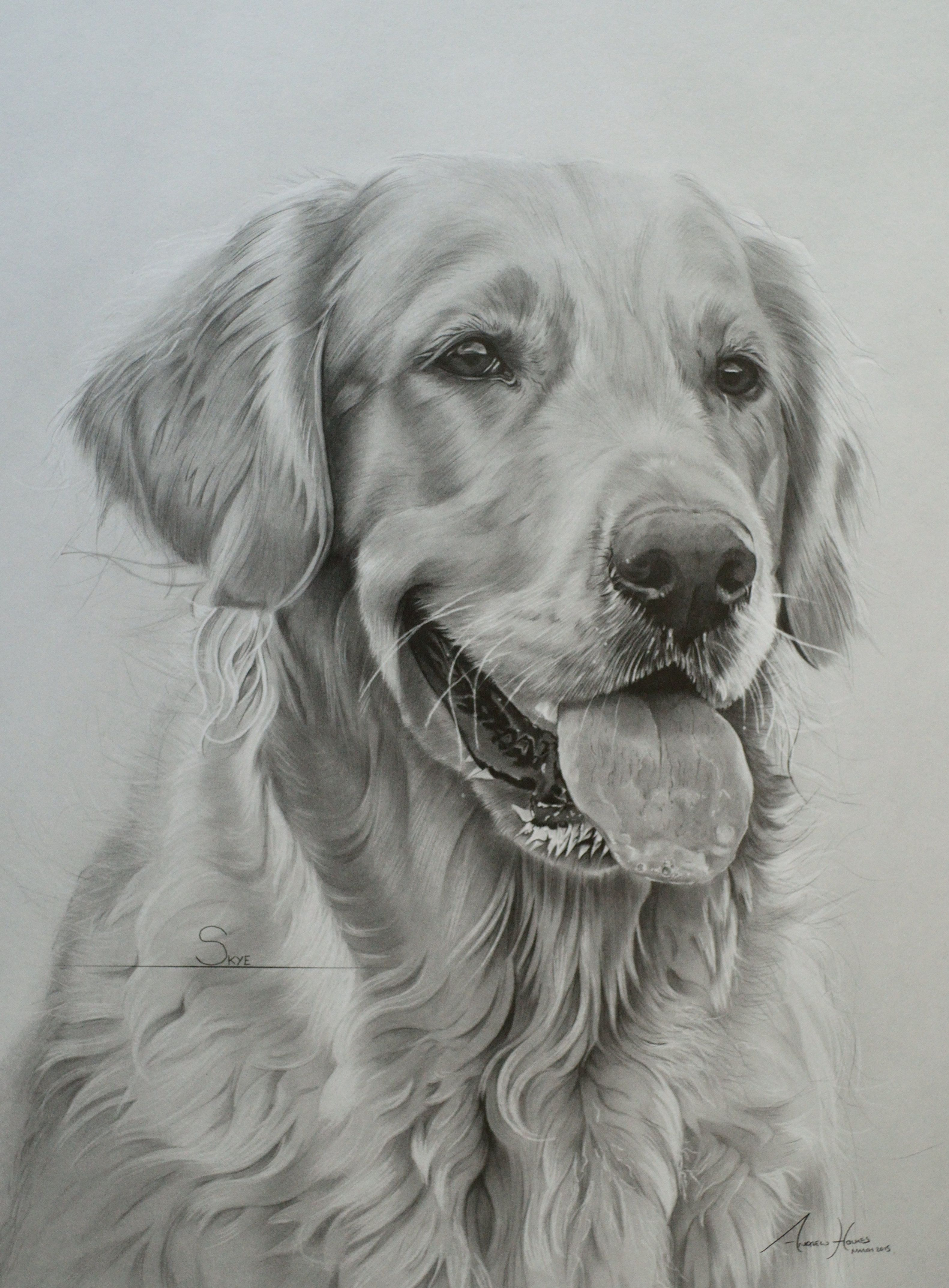 This Is Skye A Golden Retriever Who Lives In Scotland She Was Drawn 20 X16 From A Highly Deta Golden Retriever Art Golden Retriever Drawing Golden Retriever