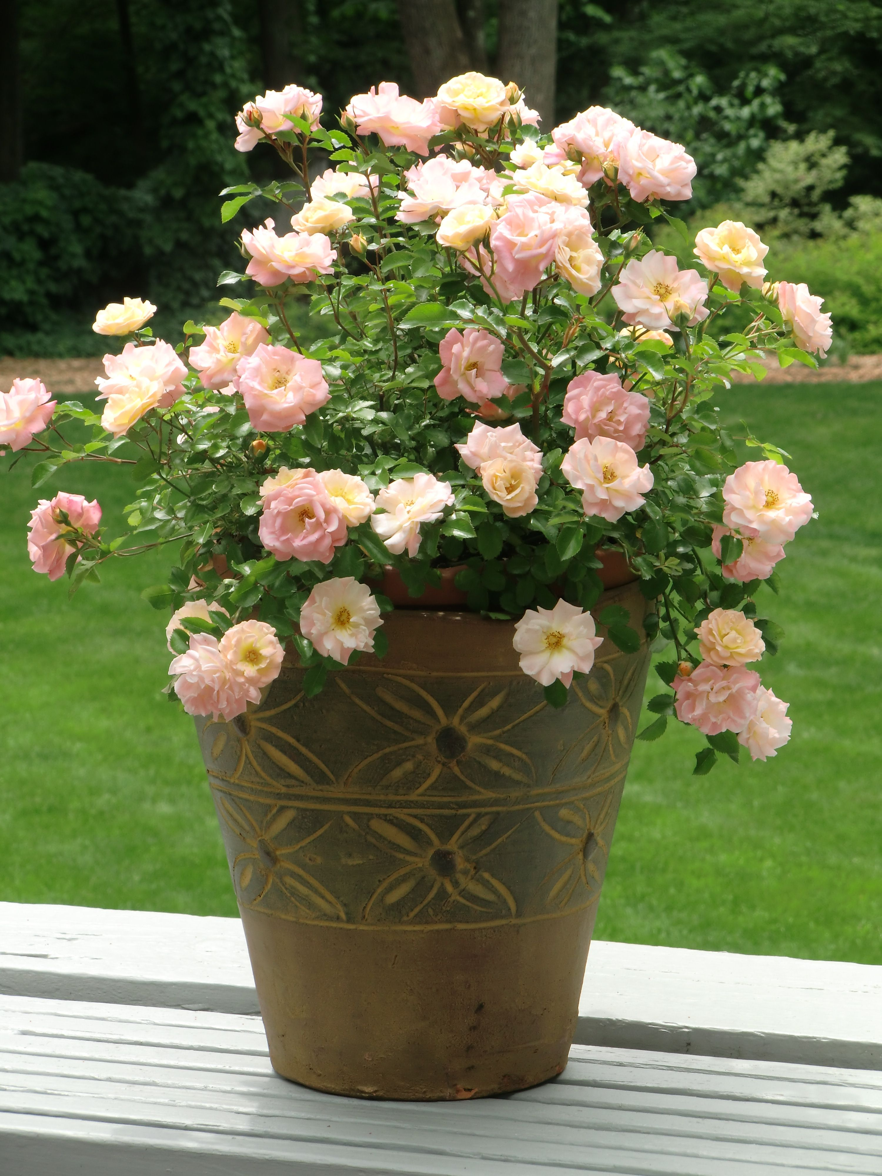 peach drift roses in containers - Bing Images | Roses | Pinterest ...