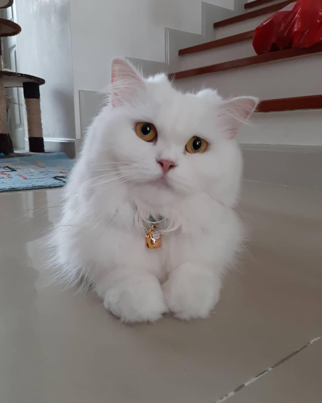 แมวเปอร เซ ย แมวเปอร เซ ย