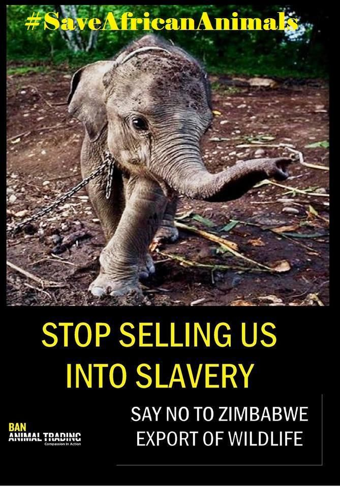 .@cher HELP Please speak up on #Zimbabwe's Corruption #babyelephants  http://on.fb.me/1uEAsEu #SaveAfricanAnimals