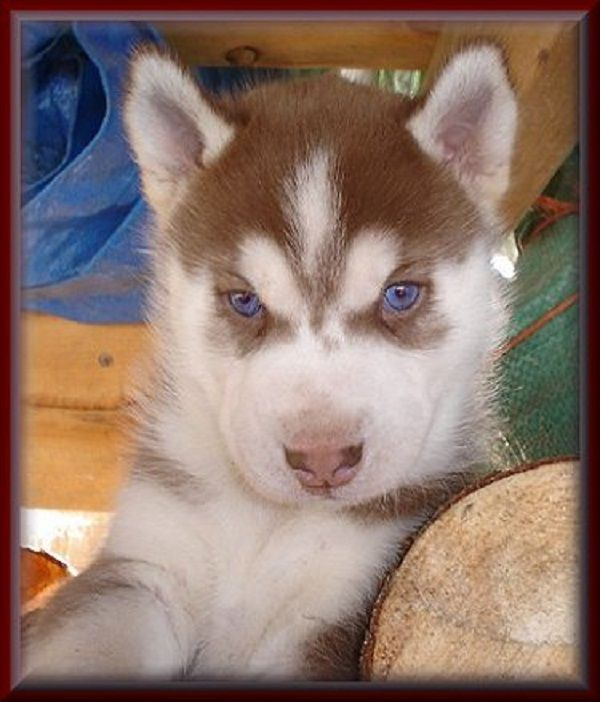Red Husky Puppies With Blue Eyes For Sale Zoe Fans Blog Red Siberian Husky Red Husky Puppies Siberian Husky Puppies