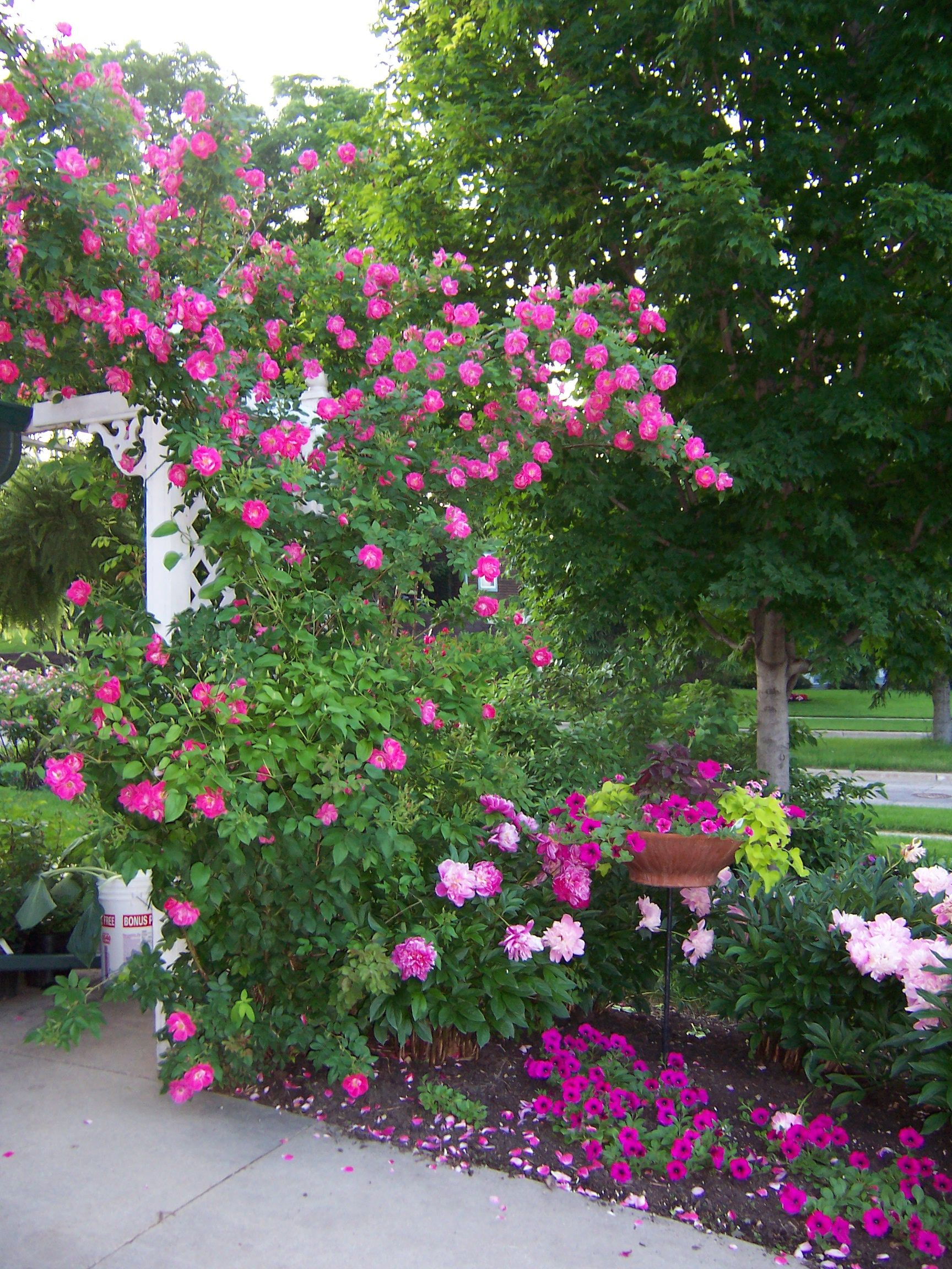 Simple Rose Garden: Rosa 'William Baffin' Is A Wonderful Climbing Rose For Us
