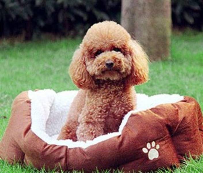 Toy Poodle Teddy Bear Cut - Google Search