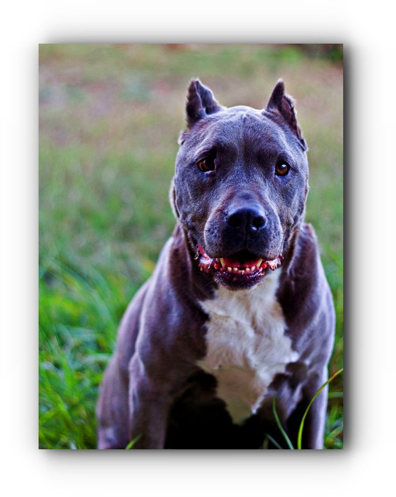 Visit The Webpage Above Just Press The Highlighted Link For Even More Selections What Kind Of Dog Is A Pitbul With Images Pitbull Dog Pitbulls Pitbull Training