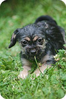 Dahlgren, VA Shih Tzu/Terrier (Unknown Type, Small) Mix