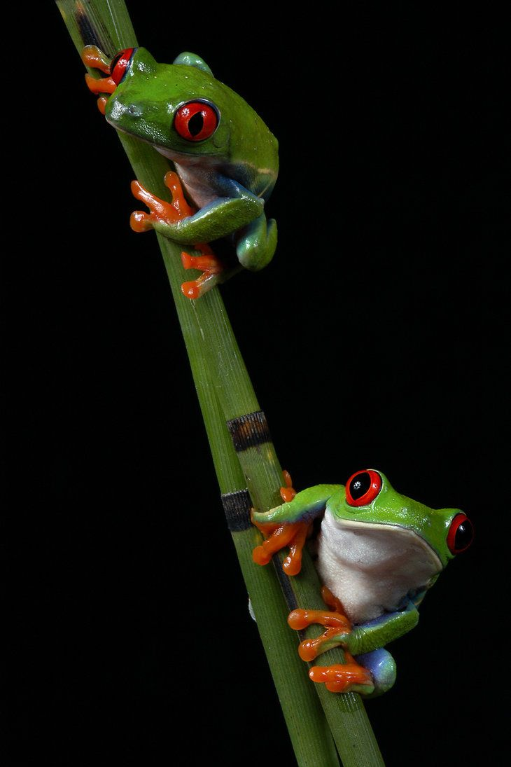 Tree Frog Duo by *mdmayberry on deviantART   Ranas   Pinterest ...