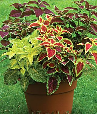 very pretty planter idea, shade, annual, Coleus, Rainbow Mixed Colors