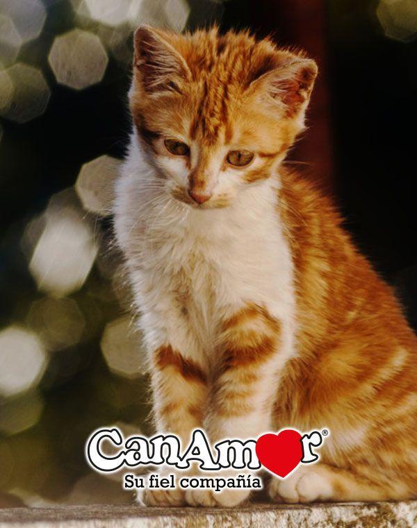 Sabíasque Si Un Gato Te Lame Es Porque Te Considera Uno De Los Suyos Está Acicalándote Cats Gatos Felinos Cosasdegatos Curiosidades Pets Tabby Cat Cats