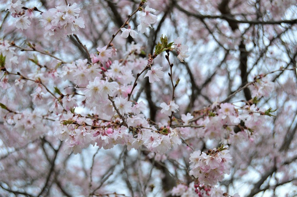 Prunus Yedoensis Common Name Yoshino Cherry Plant Story Most Famous For Being Planted Along The National Mall In W Plants Cherry Plant Prunus Yedoensis