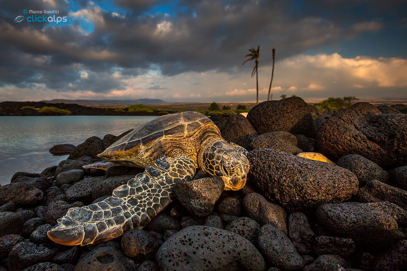 Sea turtle of Hawaii - A green sea turtle at sunset in Kiolo Bay, Hawaii