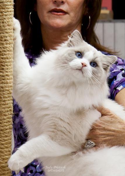 Blossom Ragdolls In Dallas Texas Gorgeous Cats Cute Cats Crazy Cats
