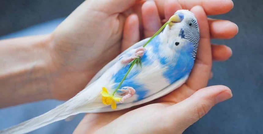 Budgie parakeet budgie parakeet budgies bird baby