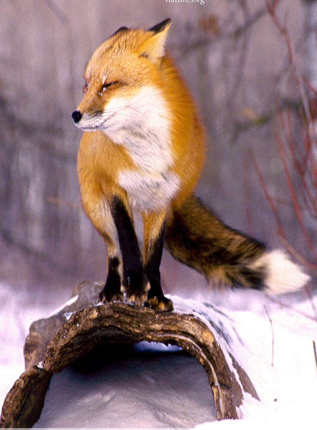 Red Fox In Winter Wisconsin Great & Small Cute Animals