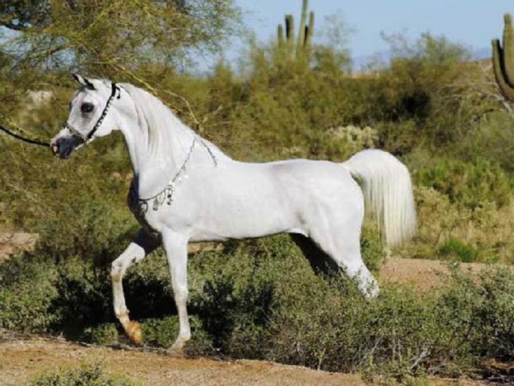 White Arabian Horses | white Arabian horse Wallpaper | MY ...