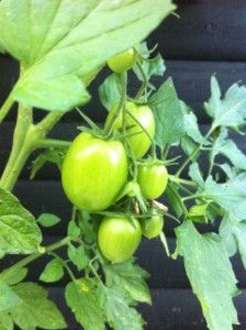 tomater // kemoland.dk