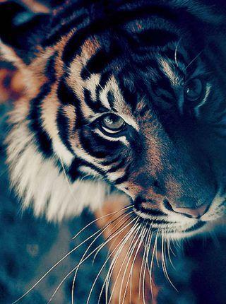 Primer Plano De La Cara Del Tigre De Bengala Fondos Para Iphone Tiger Wallpaper Animals Beautiful Animal Wallpaper Wallpaper full hd bengala wallpaper