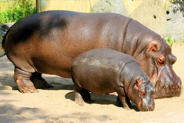 Hippopotamus with calf in old enclosure; Prague; 29th August 2012