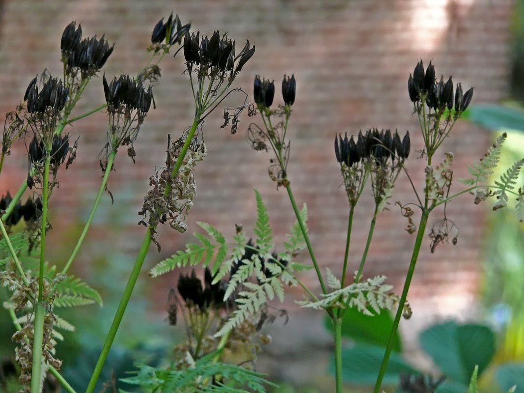 Saksankirveli, Myrrhis odorata - Kukkakasvit - LuontoPortti