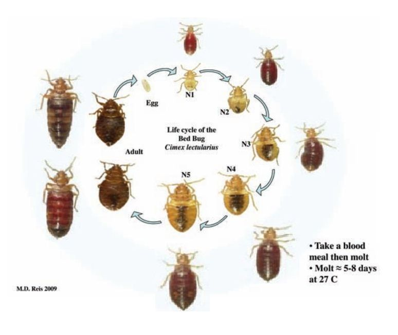 Pin by Pest Control on Bed Bugs | Pinterest | Life cycles ...