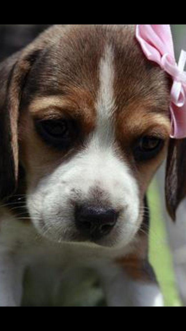 Olha A Pepsi Por Aqui De Novo Beagle Puppy Cute Beagles Baby