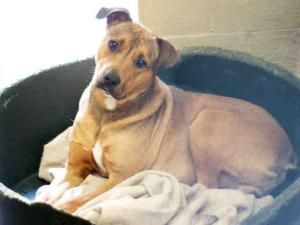 Brownie Is An Adoptable Labrador Retriever Dog In Los Angeles Ca