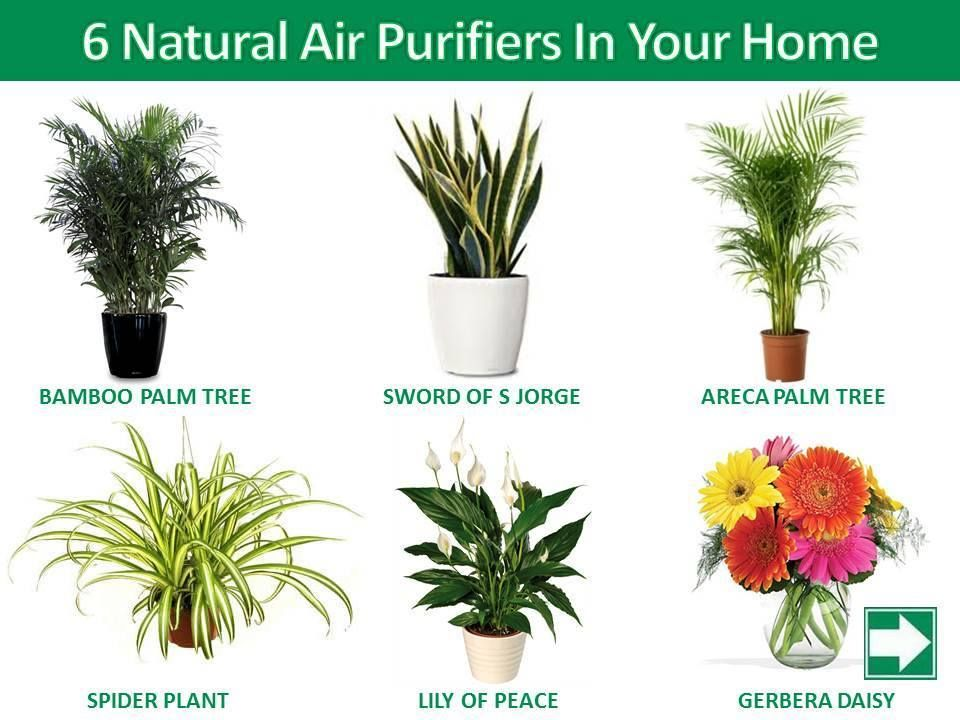 6 Natural Air Purifiers In Your Home Bamboo Palm Purifier Inside Garden
