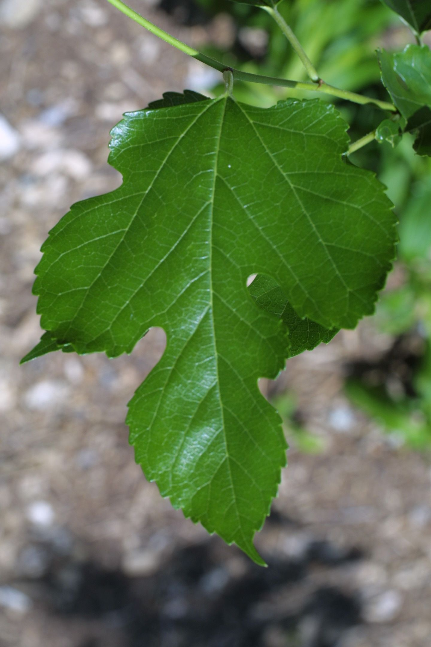 The Red Mulberry, or Morus Rubra, has a rough and fuzzy ...