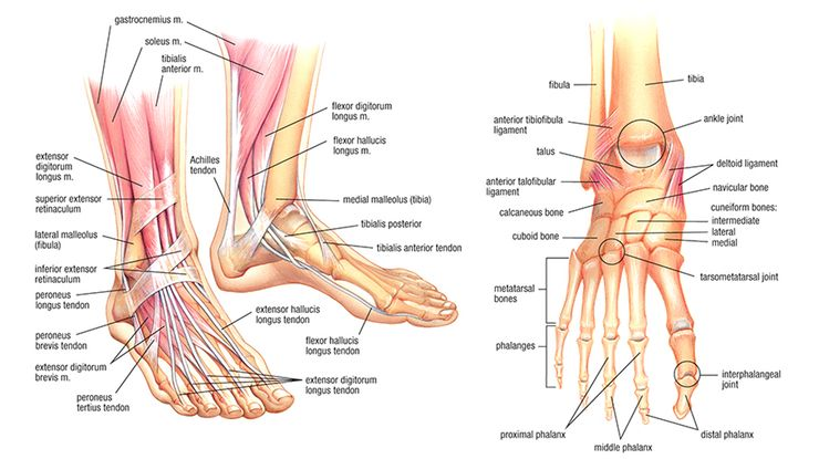 Foot Anatomy: Fix Your Feet – Mobility, Strength, and Flexibility Exercises for Foot and Ankle Health