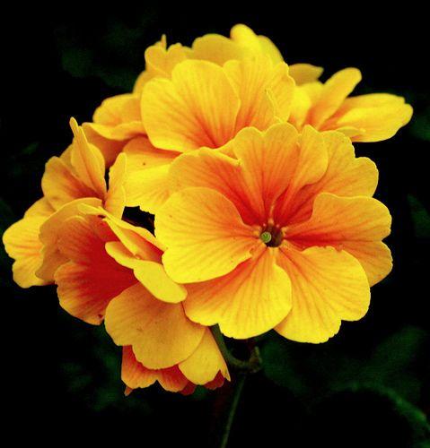 Yellow flowerscropped by swami stream via flickr flowers yellow flowerscropped by swami stream via flickr mightylinksfo