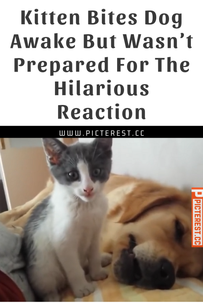 Kitten Bites Dog Awake But Wasn T Prepared For The Hilarious