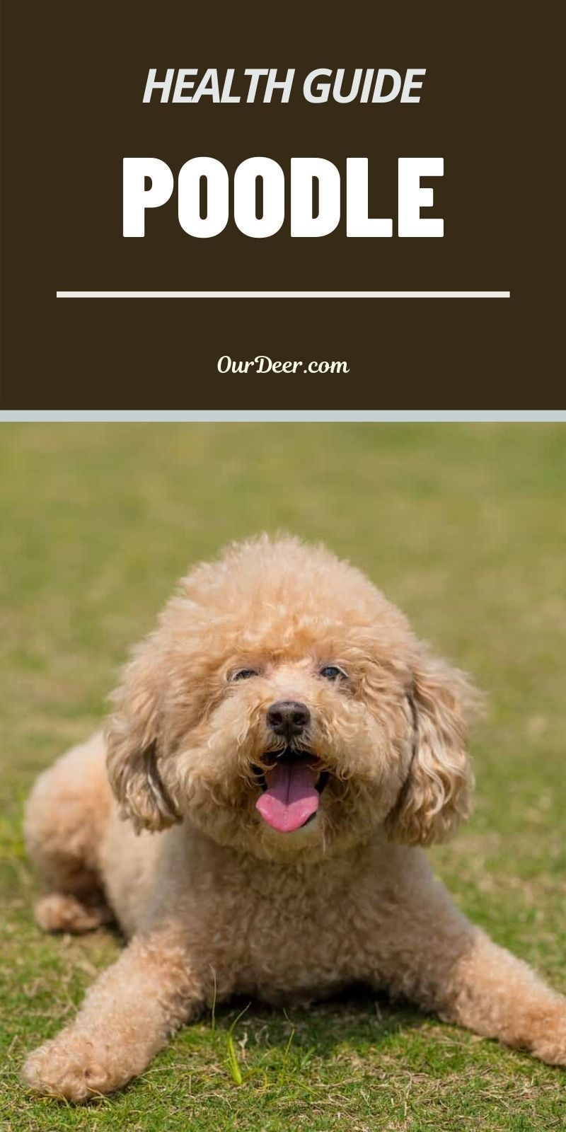 The Poodle is a breed that defies some of the rules about smaller dogs living longer and bigger dogs living shorter lives. #Poodle #PoodlePuppies #breedoverview #PoodlePuppy #PoodleTraining #PoodleHealth