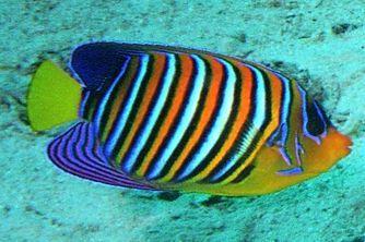 The Royal Angelfish Or Regal Angelfish Pygoplites Diacanthus Angel Fish Aquarium Fish Marine Aquarium