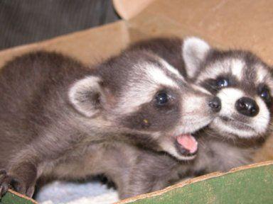 Baby raccoons, Sweet Pea and Grumpy