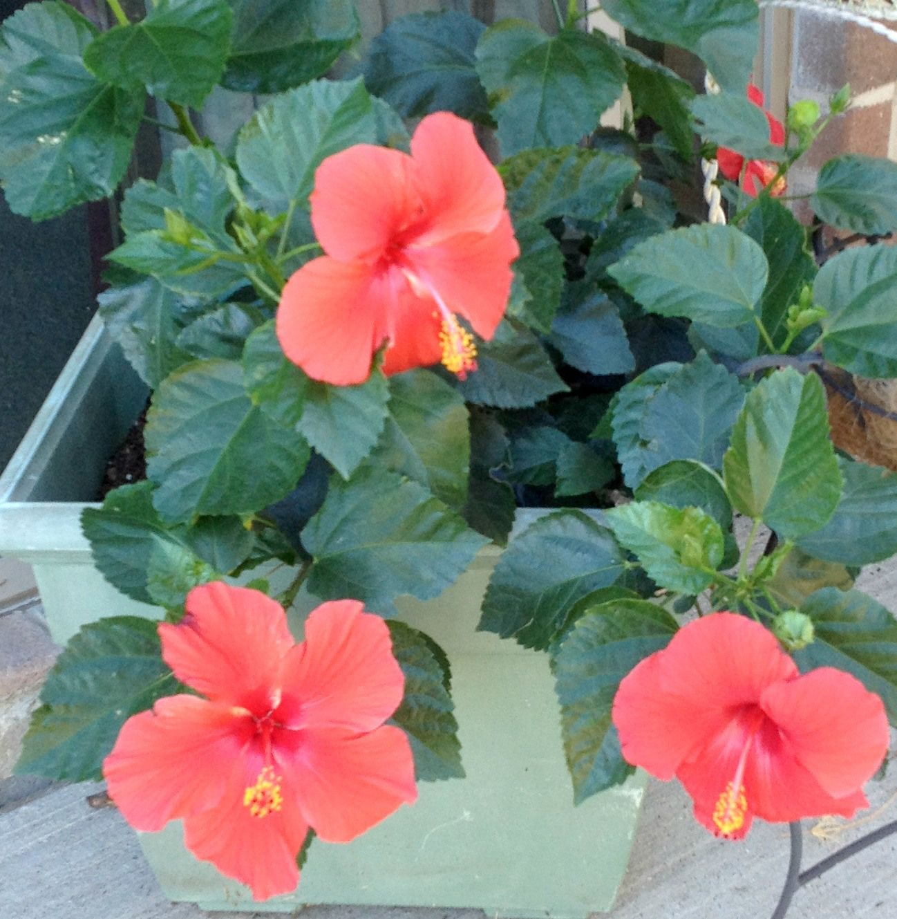 Hibiscus Care: Five Easy Tips On Potted Hibiscus
