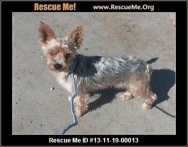 Silky Terrier Rescue Connecticut Silky Terrier Terrier Rescue Terrier