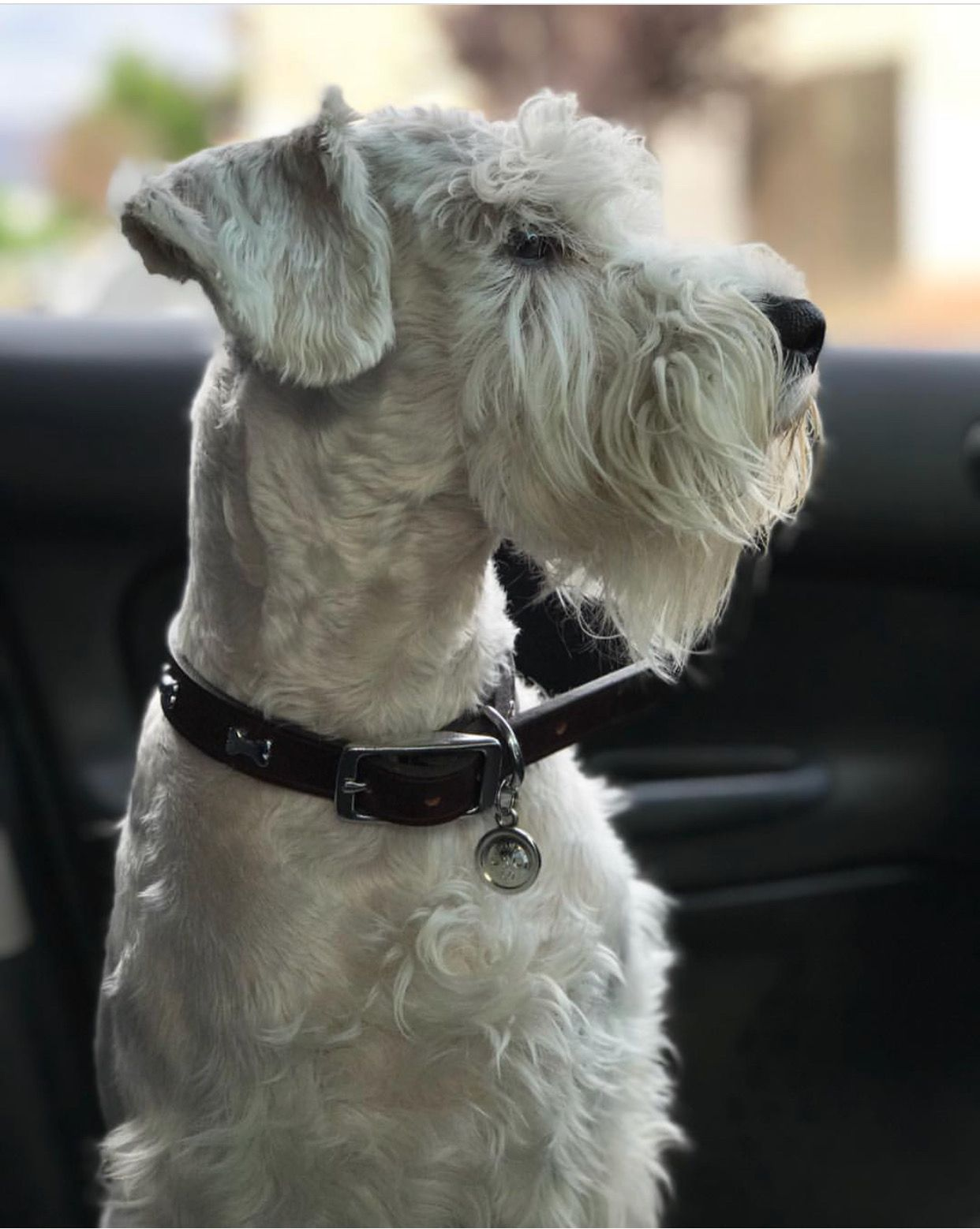 Pin by Allyson Mims on Bandit Miniature schnauzer
