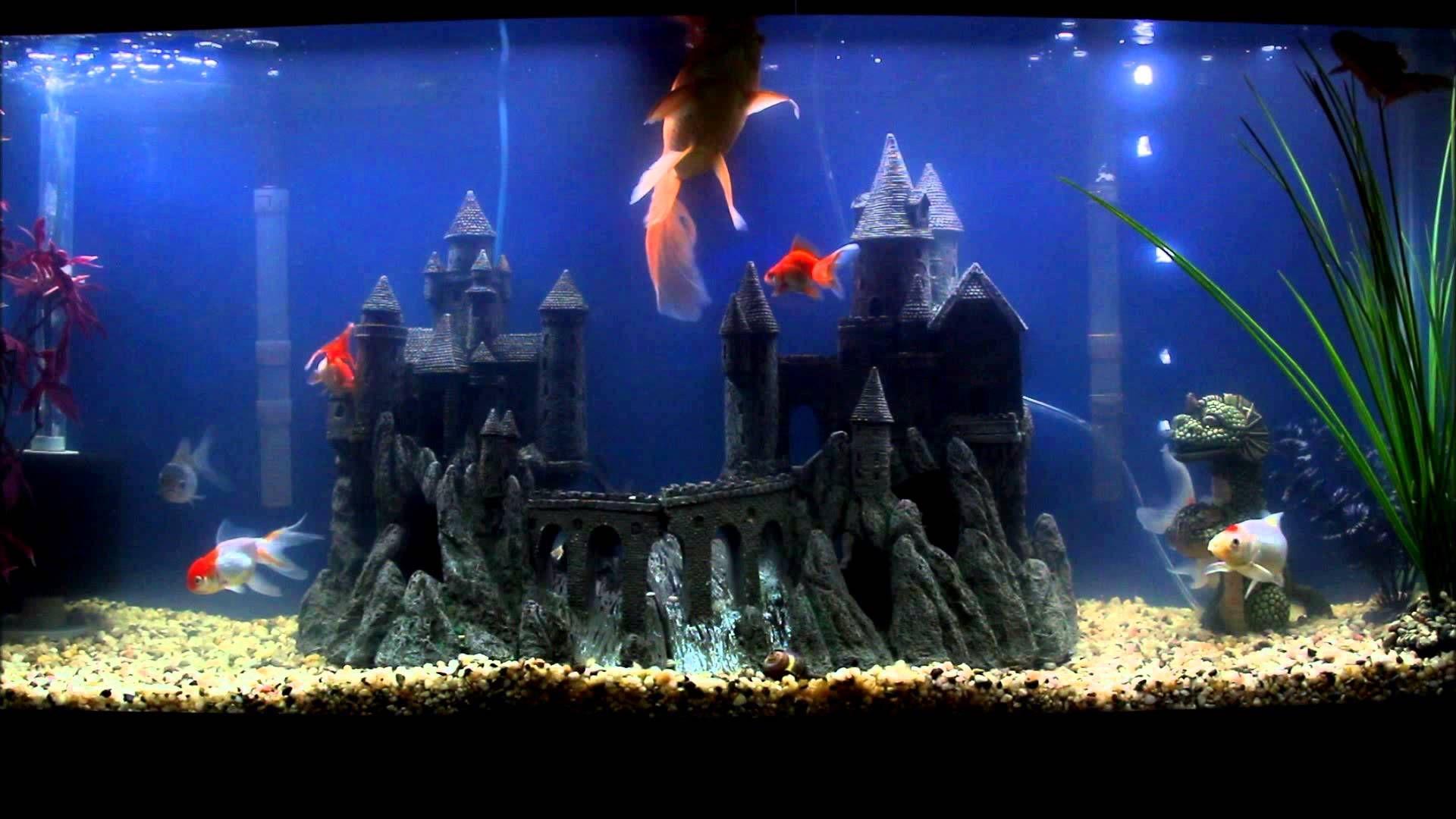 Fancy Goldfish 55 Gallon Setup fish