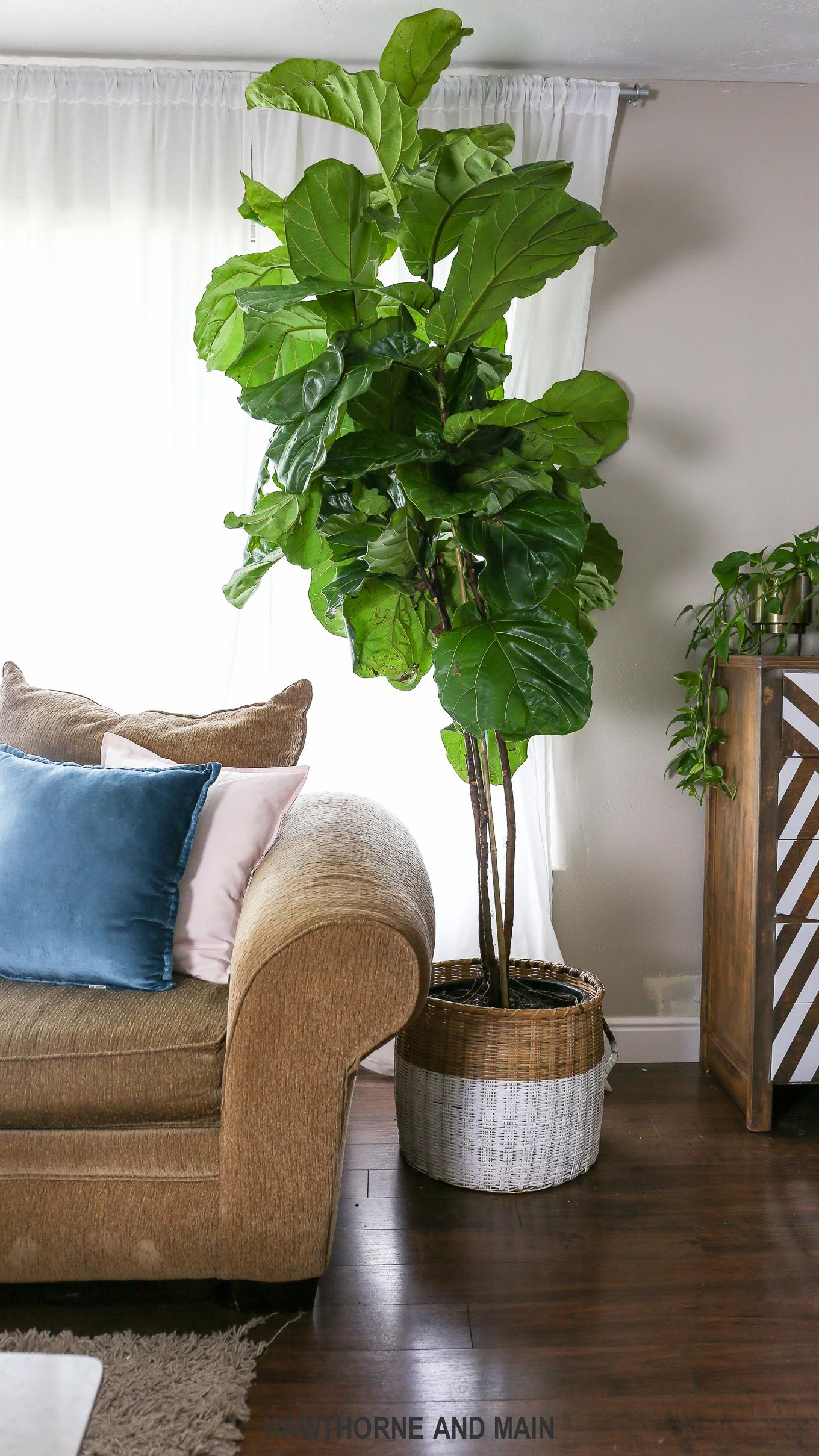 fig tree care on how to care for a fiddle leaf fig tree hawthorne and main fig leaf tree fiddle fig tree fiddle leaf fig tree pinterest