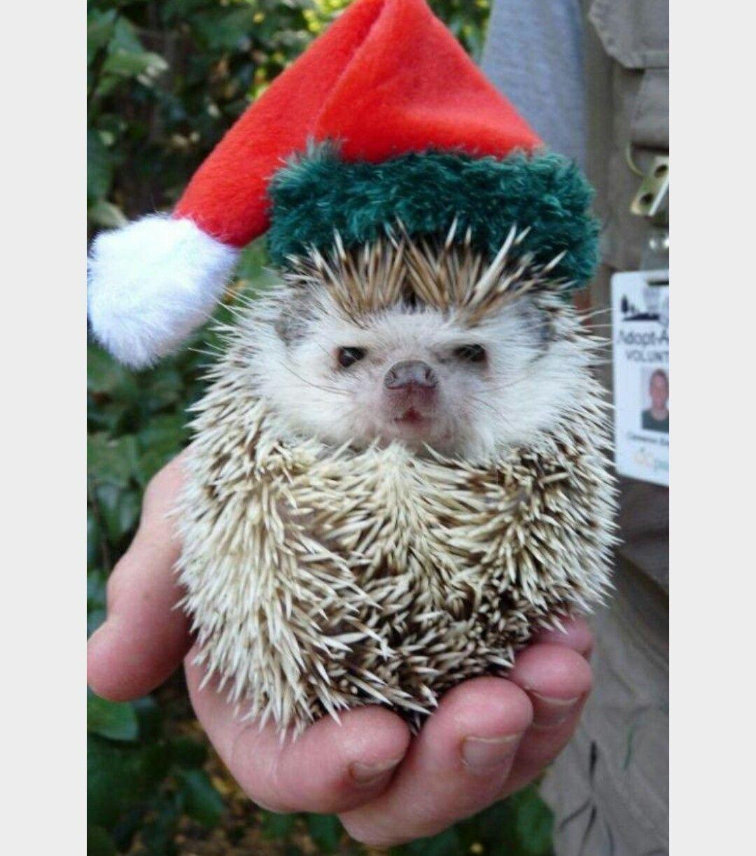 Hedgehog Santa Merry Christmas Animals Hedgehog Cute Animals