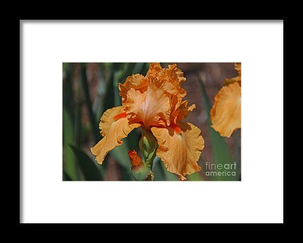 iris, orange, flower, bloom, blossom, nature, garden, michiale, schneider, photography