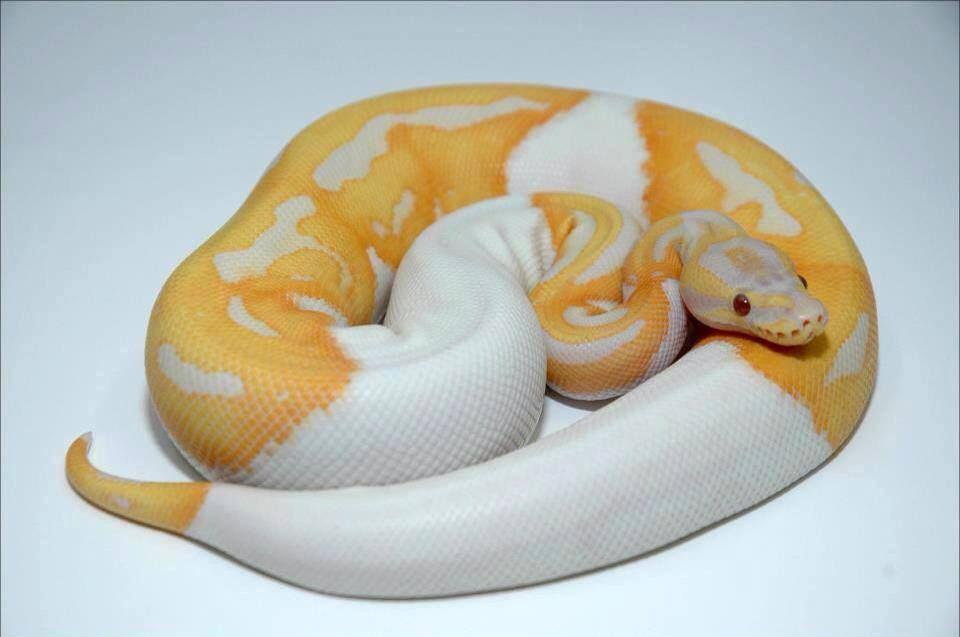 O Dreamsicle bola Python (Piebald Albino lavanda) / Python regius #Conheça a Climatologia Geográfica