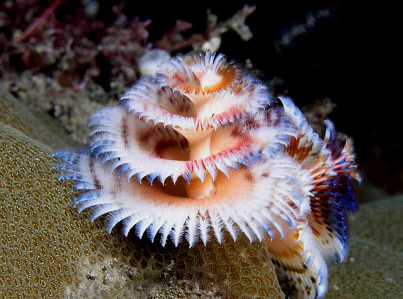 Christmas Tree Worms The Sea from top to bottom - Gorgeous Betta\u0027s