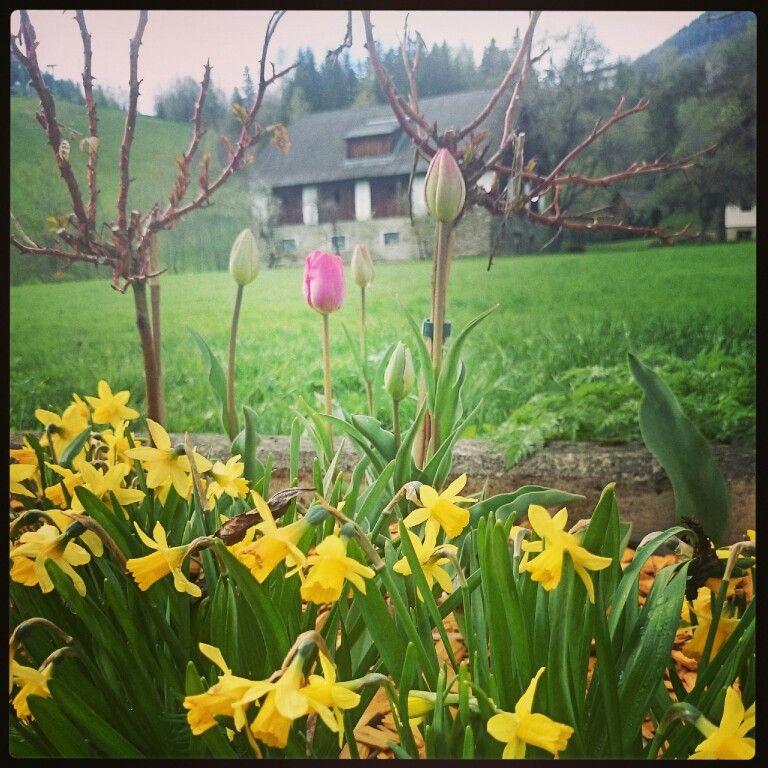 Wunderschöne Blumen, #tulpen #narzissen beim #hotelalmrausch in #kleinkirchheim www.almrausch.co.at