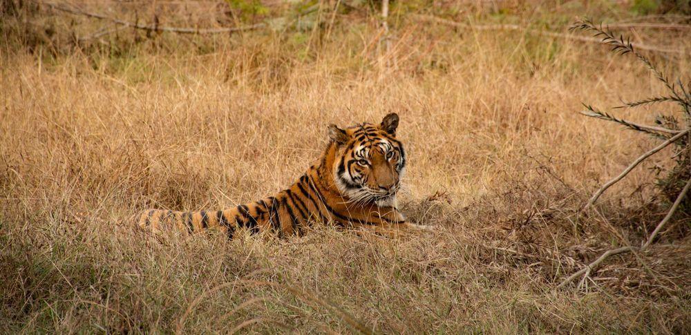 Bengal tiger Pakistan