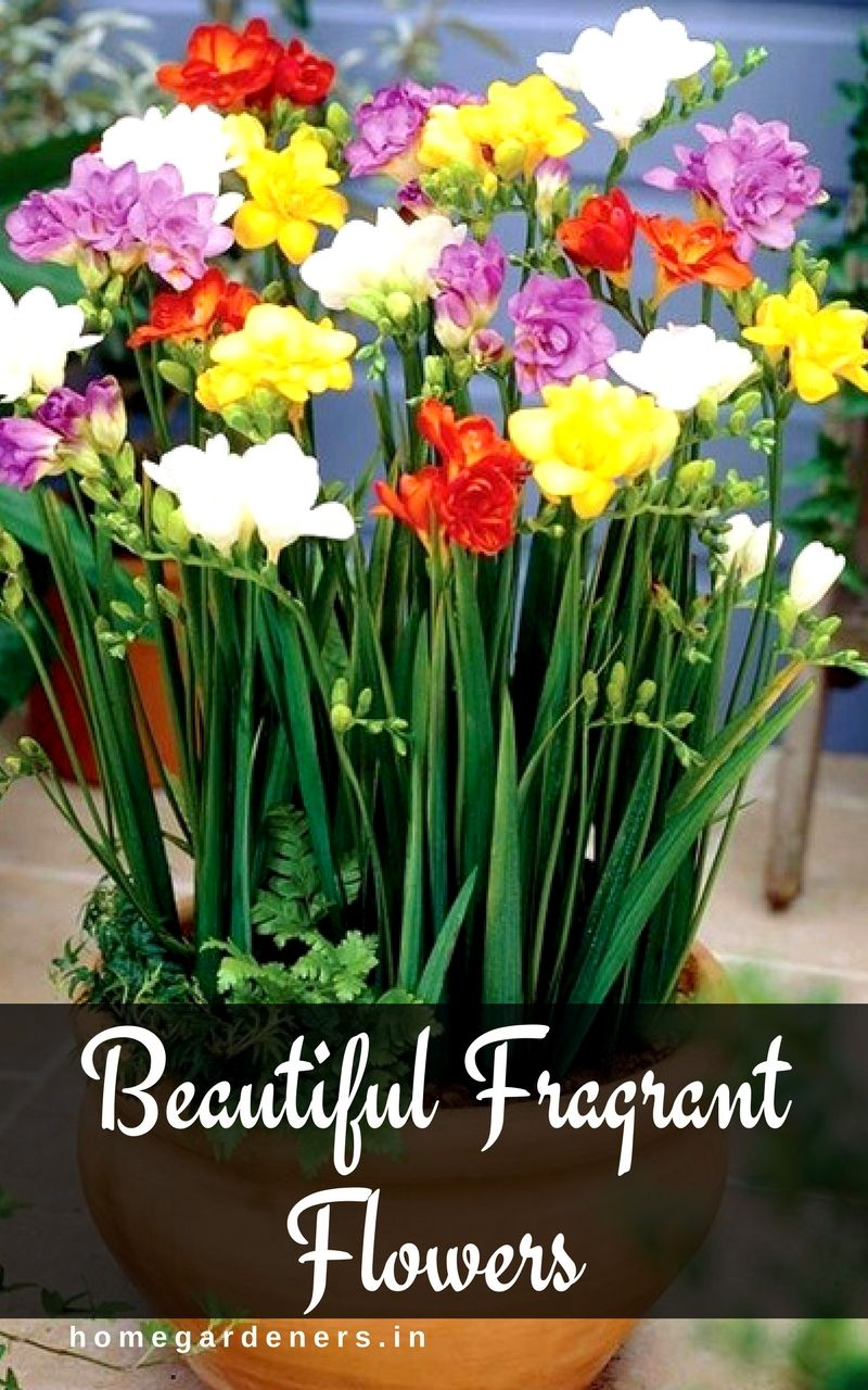 20 Best Beautiful Fragrant Flowers In The World Freesia Flowers Flower Farm Bulb Flowers