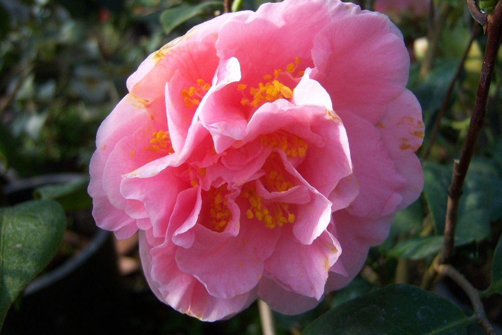 Camellia Japonica Ack Scent Bitki Kamelya