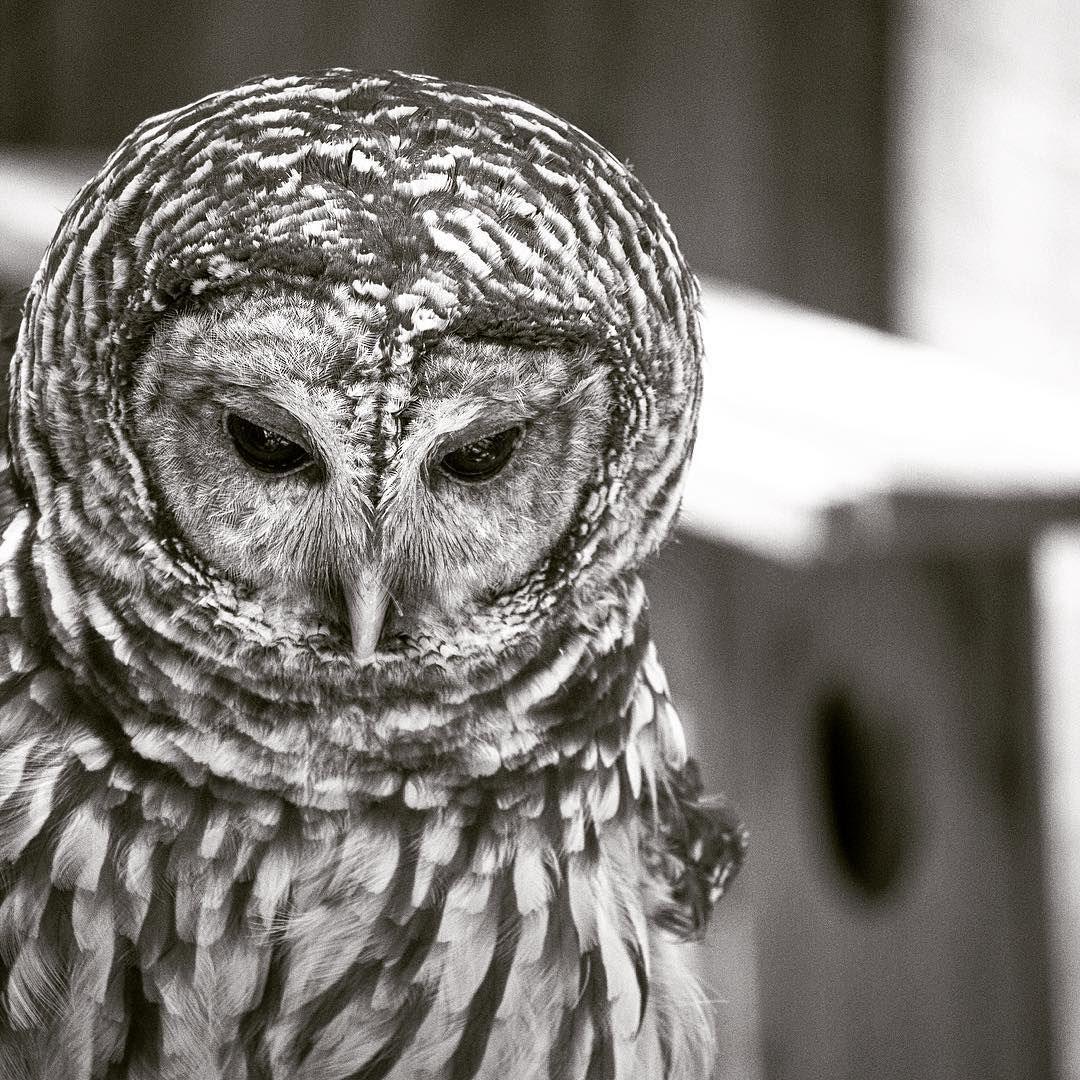 Rarely we can capture an owl.. Tat too with this expression.. #barred_owl #owl #birds #nature #naturelovers #wildlife #photooftheday #viewbugfeature #me #follow4follow #rare #WildlifePlanet #AnimalAddicts #kyrontrulyexclusive #ourfotoworld6