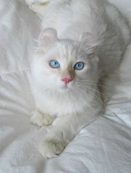 This Is So True Cats Are Connoisseurs Of Comfort James Herriot American Curl Kittens American Curl Cats And Kittens