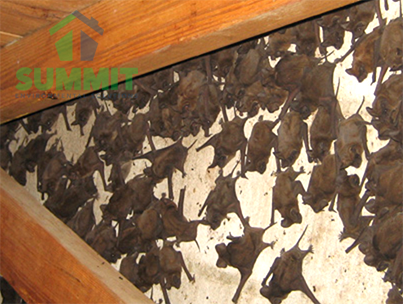 Do You Have Animals Napping In Your Attic Let Summit Environmental Solutions Provide You With A Completmentary Inspection Today Call Bats In Attic Bat Attic