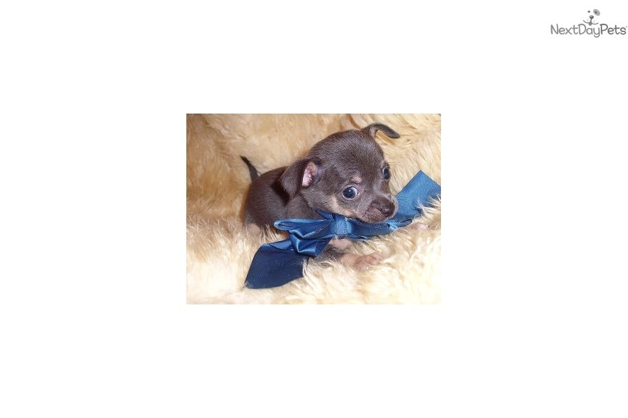 Chihuahua Puppy For Sale Near Jackson Mississippi 68ac3397 8a31
